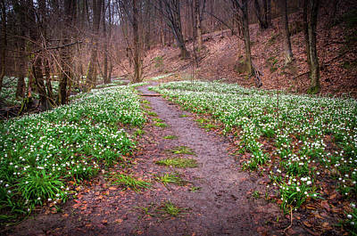 Photograph - Woodland Field Of Snowdrops Flowers by Jenny Rainbow