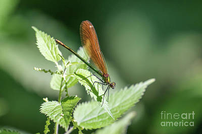 Photograph - Woodland Jewel by Paul Farnfield