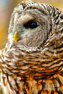 Photograph - Woodland Owl by Adam Olsen