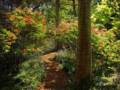 Woodland Path With Rhododendrons Art Print