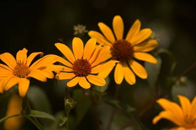 Sunflowers Photograph - Woodland Sunflowers by Startasha Lopez