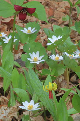 Bloodroot Photograph - Woodland Wildflowers by John Burk