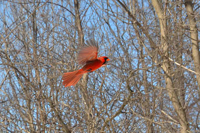 Woodland's Red Of Flash In-flight Art Print by Asbed Iskedjian