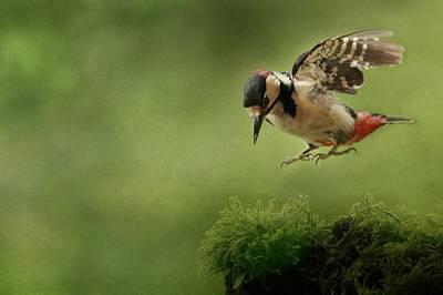 Feeding Mixed Media - Woodpecker 19 by Heike Hultsch
