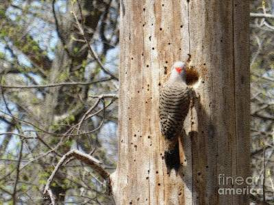 Photograph - Woodpecker At Reed Turner by Kathie Chicoine
