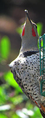 Photograph - Woodpecker At The Feeder by Marie Jamieson