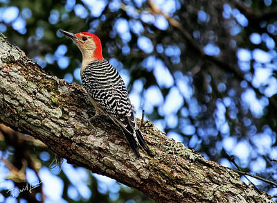 Photograph - Woodpecker by David A Lane