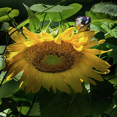 Sunflowers Photograph - Woodpecker Delight by Bill Wakeley