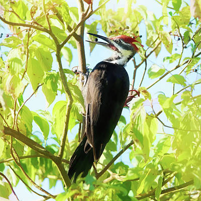 Pileated Woodpecker Photograph - Woodpecker Eating Elderberries by Susan Capuano