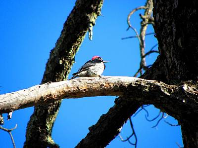 Photograph - Woodpecker by Elizabeth Hoskinson