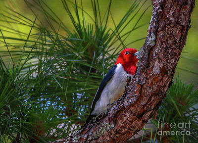 Photograph - Woodpecker In Tree by Tom Claud