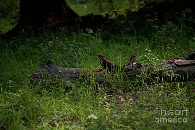 Photograph - Woodpecker by Jim Hogg