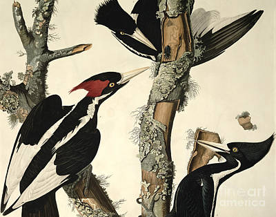 Natural Drawing - Woodpecker by John James Audubon