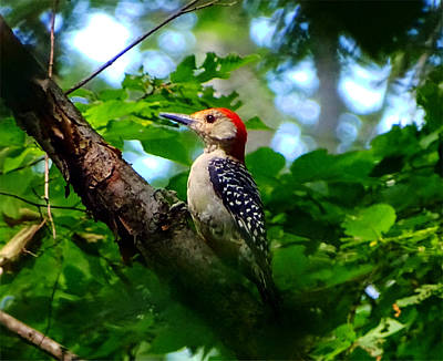 Photograph - Woodpecker by Lilia D