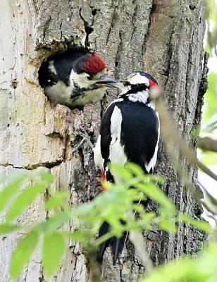 Photograph - Woodpecker Lunch by David Bradley