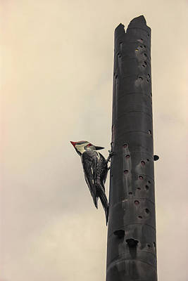 Feeding Photograph - Woodpecker by Martin Newman