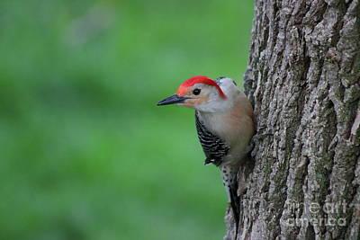 Photograph - Woodpecker On Alert by Erick Schmidt