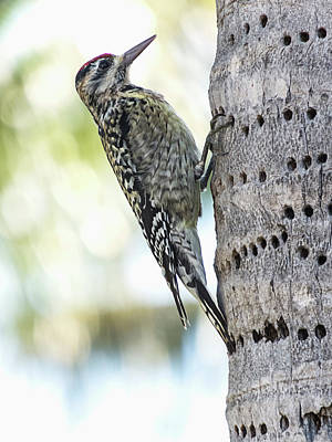 Photograph - Woodpecker On Palm by Bob Slitzan