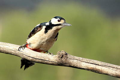 Animales Photograph - Woodpecker Picture by Heike Hultsch