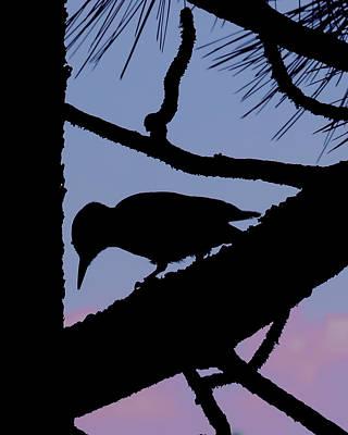 Hairy Woodpecker Photograph - Woodpecker Silhouette by Diane Zucker