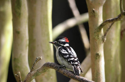 Photograph - Downy Woodpecker by Trina Ansel