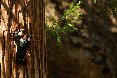Photograph - Woodpeckers At Mount Palomar, California by Lawrence S Richardson Jr