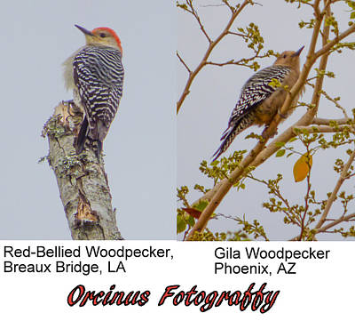 Photograph - Woodpeckers by Kimo Fernandez