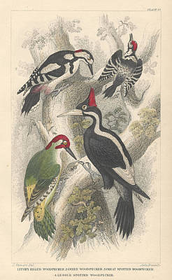 Rare Bird Drawing - Woodpeckers by Rob Dreyer