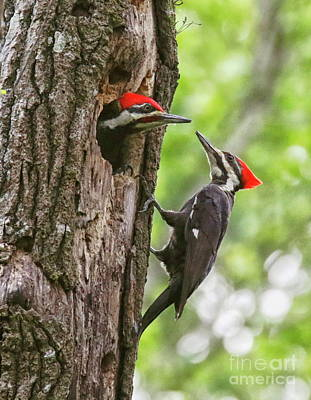 Photograph - Woodpeckers Trading Places by Myrna Bradshaw