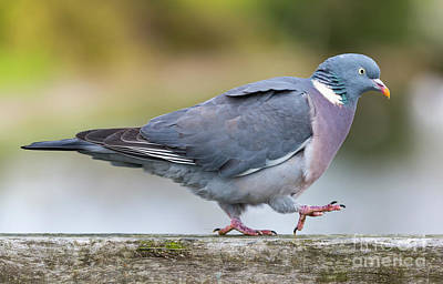 Pigeon Photograph - Woodpigeon Walking by Geoff Smith
