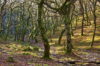Woods Near Badgeworthy Water Exmoor Art Print
