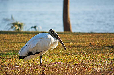 Photograph - Woodstork - Just Chillin' by Terri Mills