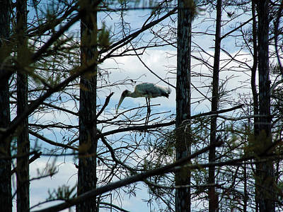 Photograph - Woodstork Within The Forest by William Bitman