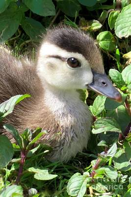 Photograph - Woody Duckling by Frank Townsley