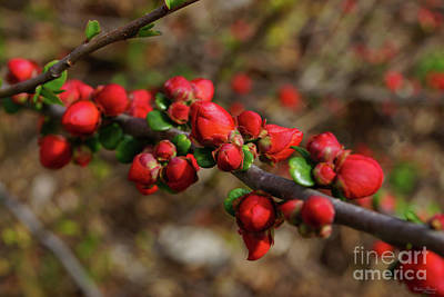 Photograph - Woody Red Blooms by Jennifer White