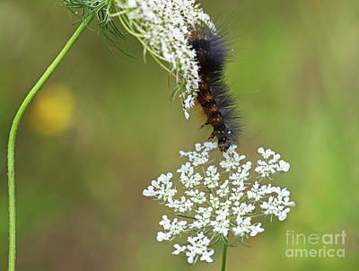 Photograph - Woolly Bear.. by Nina Stavlund