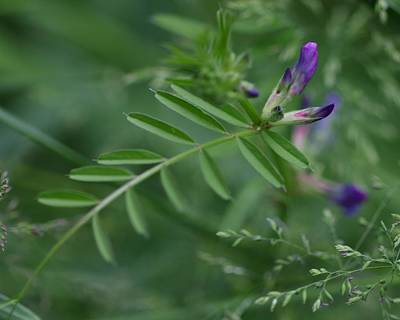 Photograph - Woolly Vetch In Spring by I'ina Van Lawick