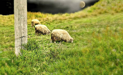 Photograph - Wooly by Diana Angstadt