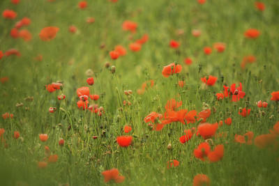 Worcestershire Poppy Field Art Print by Wayne Molyneux