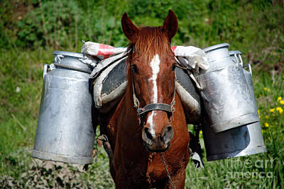 Farm Horse Photograph - Work Horse At The Azores by Gaspar Avila