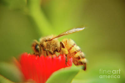 Photograph - Worker Bee by Micah May