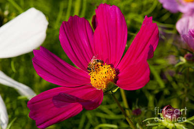 Cosmea Photograph - Worker Bee Pollinates Red Cosmos Bipinnatus  by Arletta Cwalina