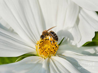 Cosmea Photograph - Worker Bee Pollinates White Cosmos Bipinnatus  by Arletta Cwalina