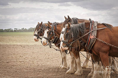 Photograph - Working Horses by Linda Lees
