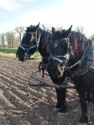 Draft Horses Photograph - Working Percherons by Laurie With