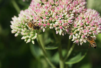 Photograph - Working The Sedum by Andrew Pacheco
