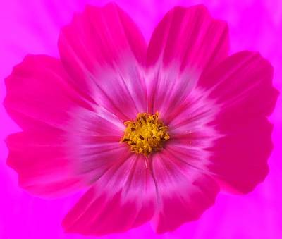 Photograph - World Of Hot Pink - Cosmos by MTBobbins Photography