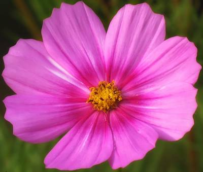 Photograph - World Of Pink - Cosmos by MTBobbins Photography