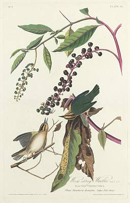 Warbler Drawing - Worm-eating Warbler by Dreyer Wildlife Print Collections