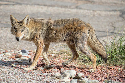 Photograph - Worn Down Coyote by Dan McManus